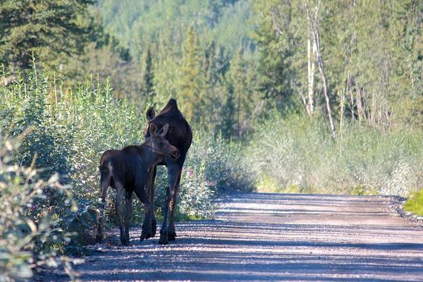 Kennicott Moose Baby and Mother