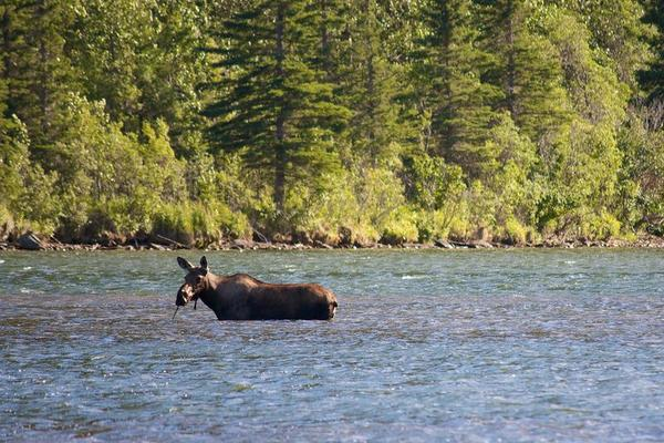 Moose in the Water in Downtown Chitina