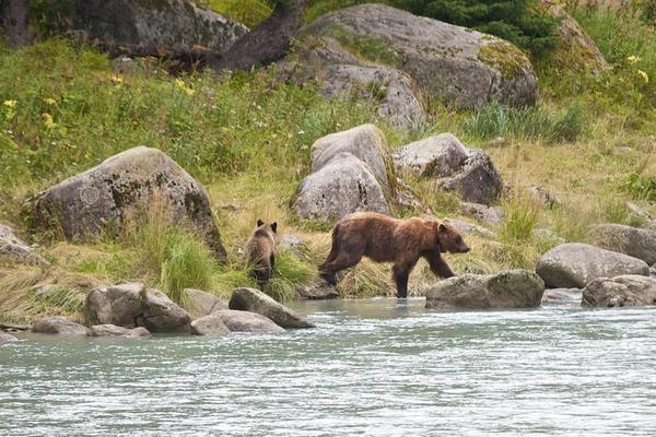 Grizzly Bears Feeding in the Lutak Inlet Haines Alaska